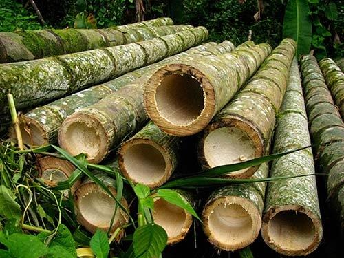 cut moso bamboo