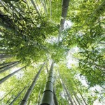 How is a bamboo forest harvested?