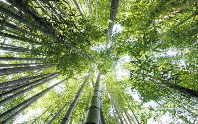Bamboo forest looking into sky